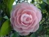 Camellia japonica(おとめつばき)