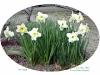 Narcissus(すいせん)