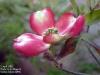 Cornus florida(花水木)
